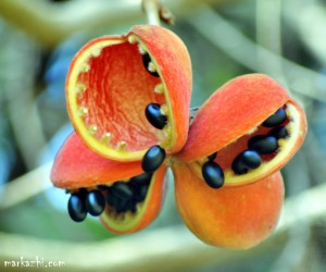 shinig black seeds of sterculia