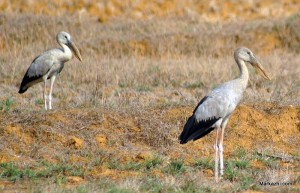 open billed storks at dry inlands