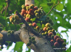Athippazham   ficus racemosa fruits