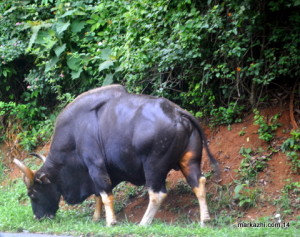gaur [ Indian bison]