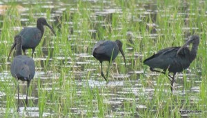 GLOSSY IBIS  MIGRATORY BIRDS  ALONG THE COAST OF BHARATHAPUZHA