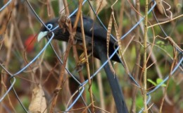 SMALL GREEN BILLED MALKOHA OR BLUE -FACED MALKOHA OR PACHACHUNDAN was spotted at Ottappalam