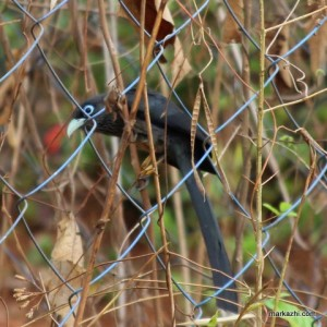 blue faced Malkoha