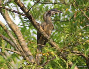 Indian Grey Hornbill , Nattu vezhambal