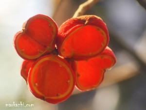 as red as sterculia pods