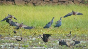 JACANAS STARTED TO FLY