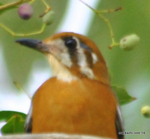 White-throated Ground-Thrush  /Orange-headed thrush/  Zoothera citrina cyanota /Kurikkannan kattupullu