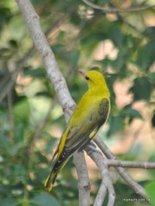 INDIAN ORIOLE (female)