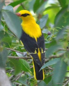 Indian oriole [male]
