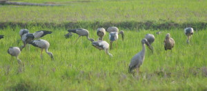 OPEN BILLED STORKS