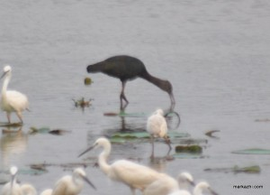 glossy ibis in Ayilakkad wet land stretces